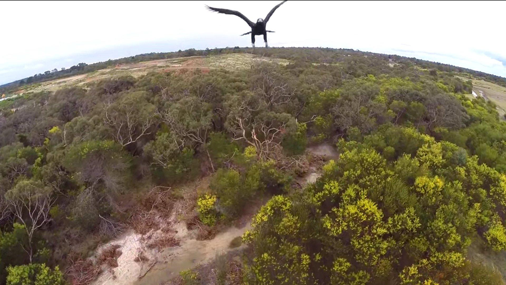 Adler greift Drohne in Australien an