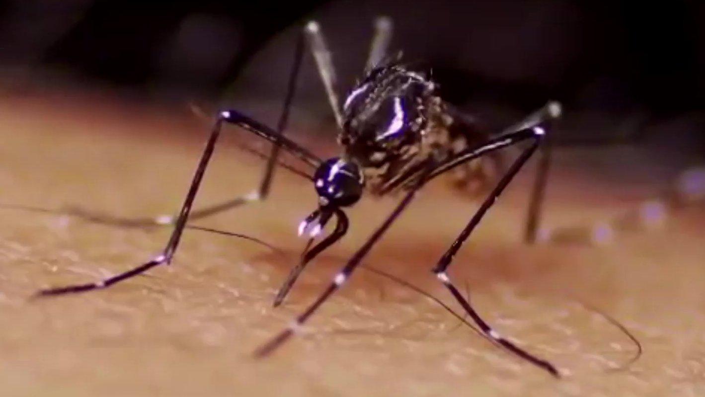 Gelbfiebermücke Aedes aegypti