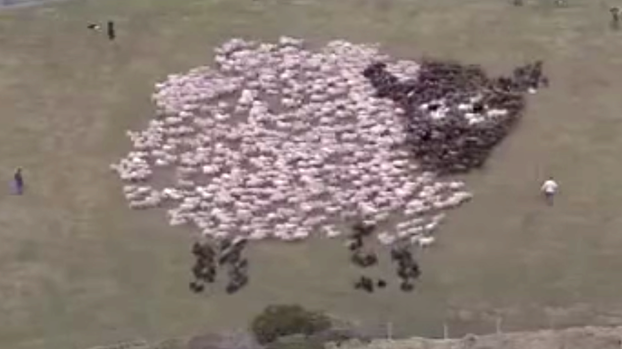 Schafe bilden ein Schaf auf einer Weide.