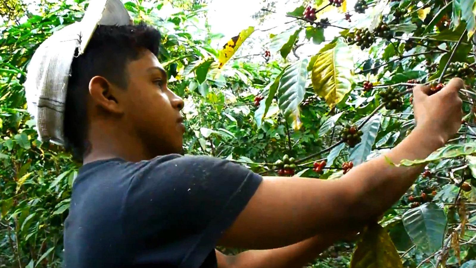 Eine junge pfückt Kaffeebohnen in Nigaragua.